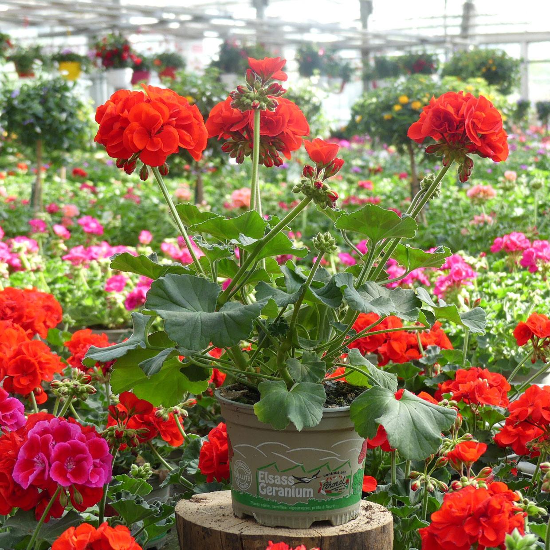 fleurs-lisch-photo-3